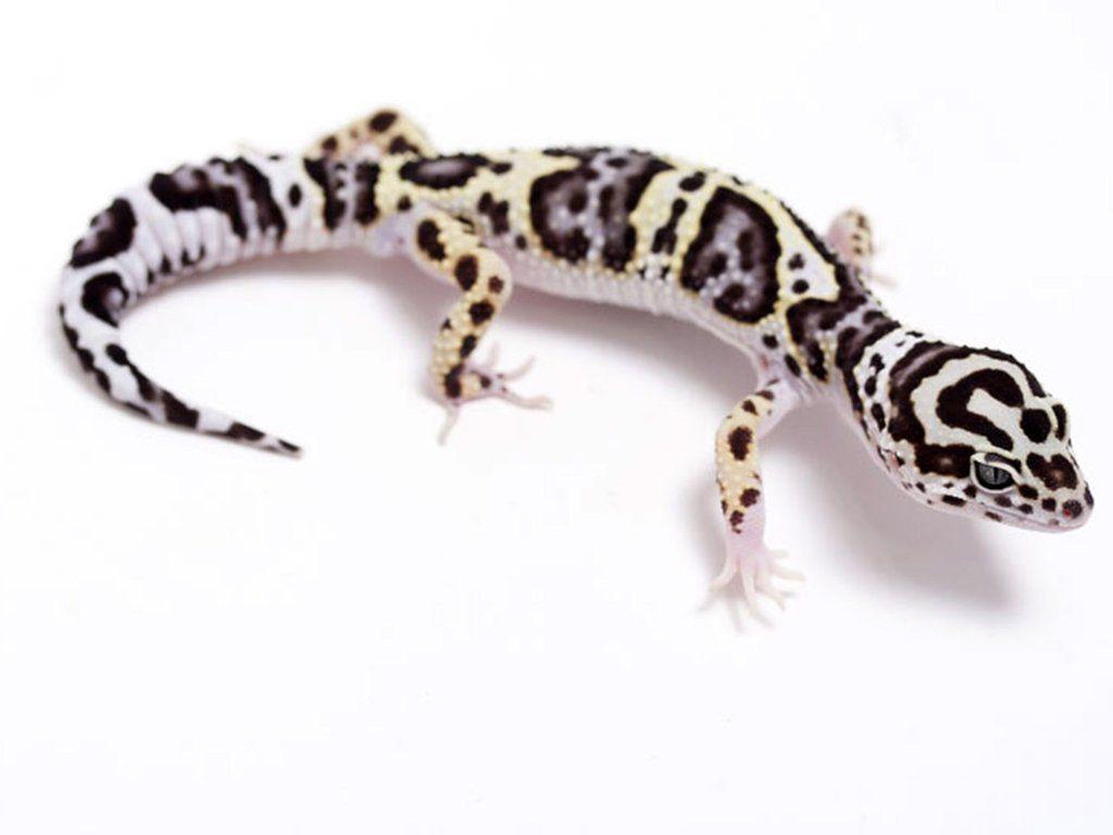 Halloween Mask Leopard Gecko.Tug Snow Halloween Mask Leopard Gecko 051917a Male Dream