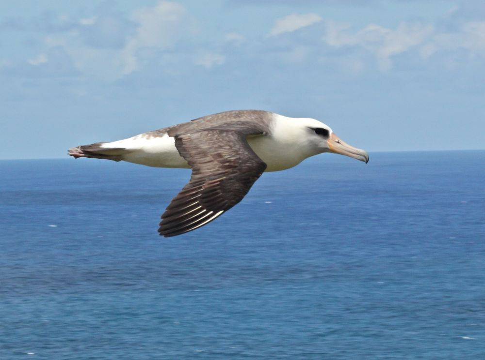 Albatross Flight By Hob Osterlund Sea Birds National Geographic Albatross