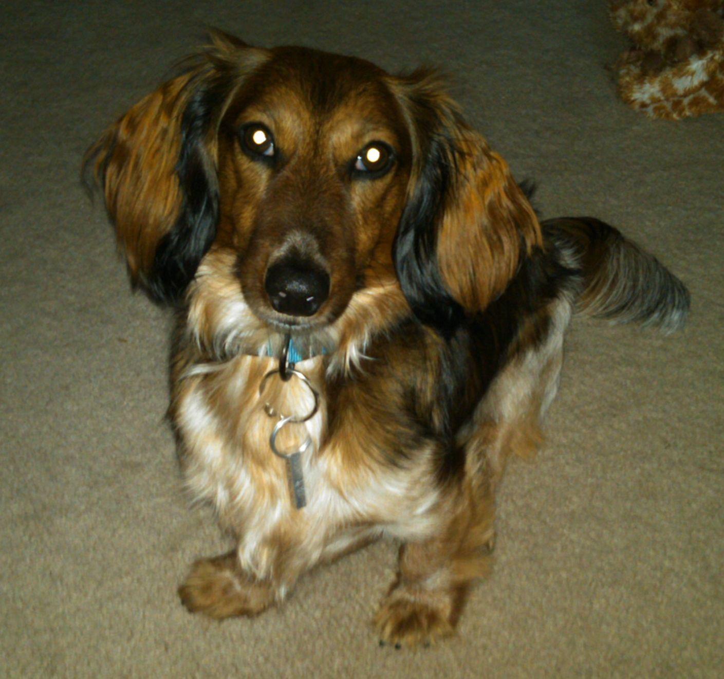 Wrigley The Long Haired Tweenie Weenie Dogs Dog Life Puppy Love