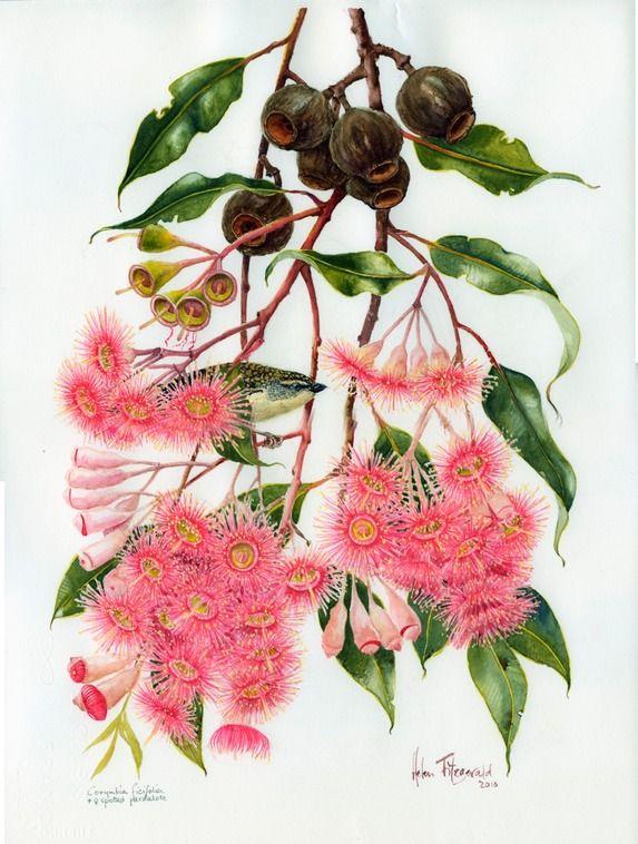 C ficifolia paradalote 1176