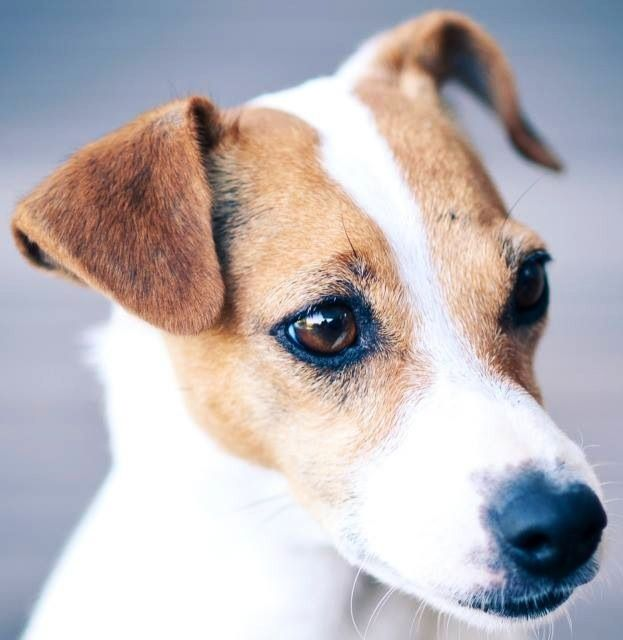 Jack Russell Via Www Facebook Com Fionachilds With Images Jack
