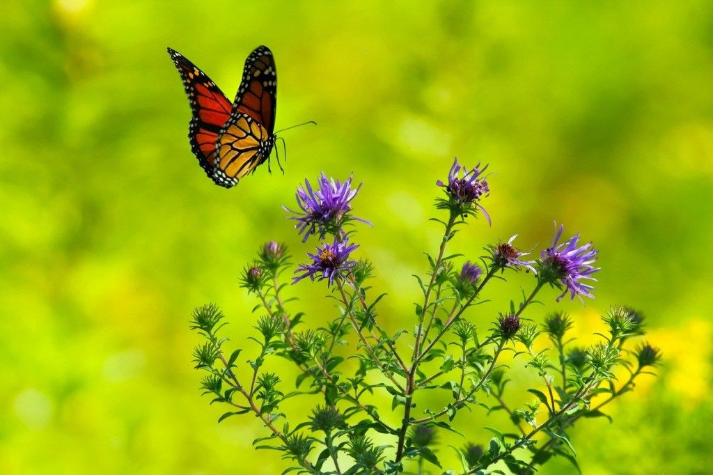 6 Butterfly Garden Design Rules is part of Butterfly garden design, Butterfly garden, Garden stones, Garden design, Garden, Attract butterflies - Here are six tips for an easy butterfly garden (along with a plan) you can easily grow yourself in your own backyard  You do need to feed the larva as well