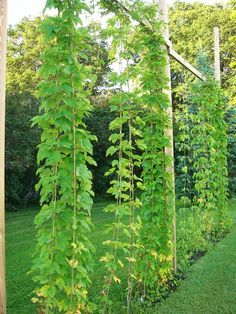 Hops Trellis. But just imagine how pretty this would look with Morning Glories!