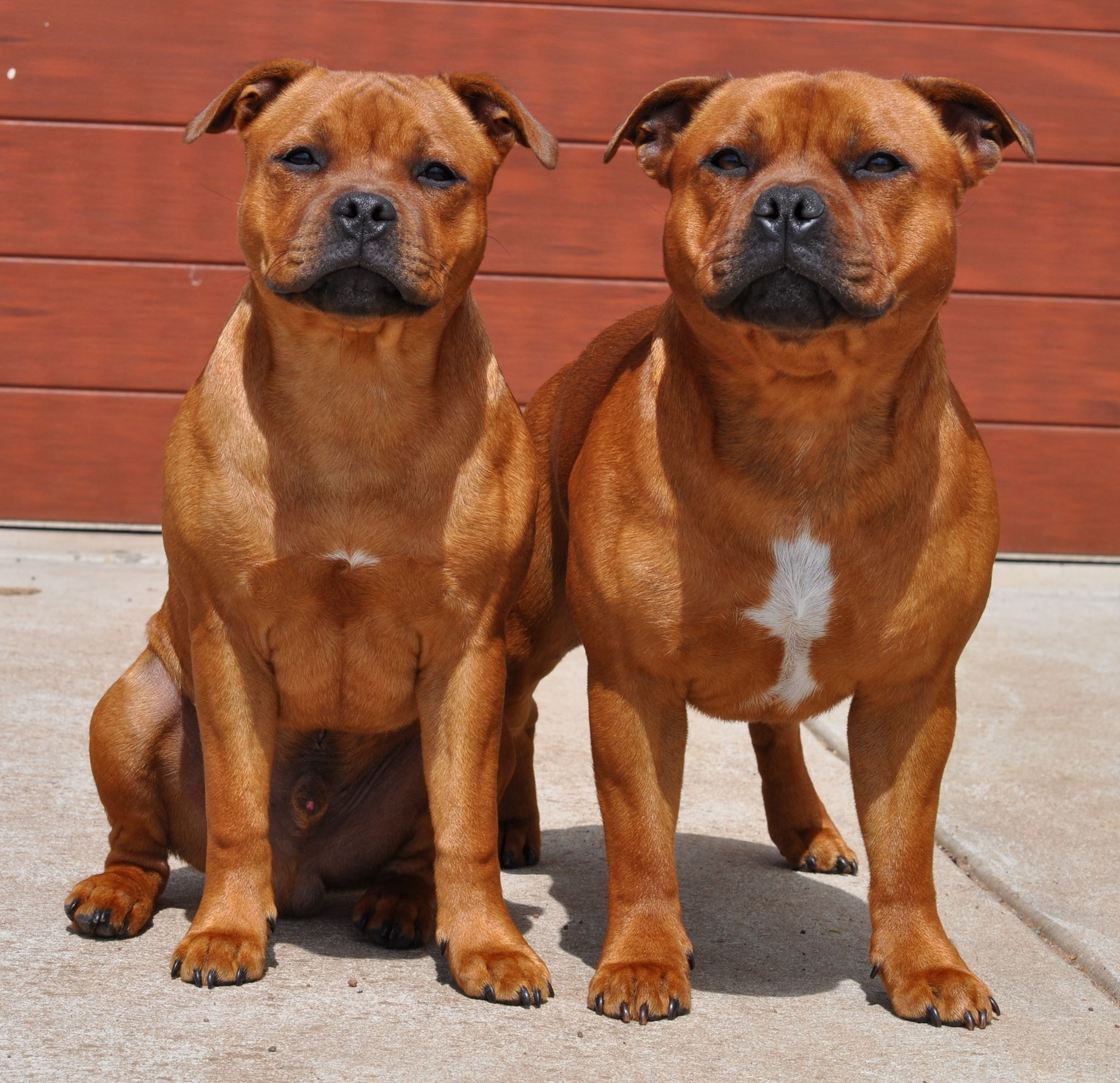 Staffordshire Bull Terriers Cat Kennel Staffordshire Dog Staffy Bull Terrier