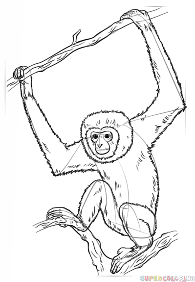 How To Draw A Lar Gibbon Step By Step Drawing Tutorials Drawings Monkey Illustration Coloring Pages