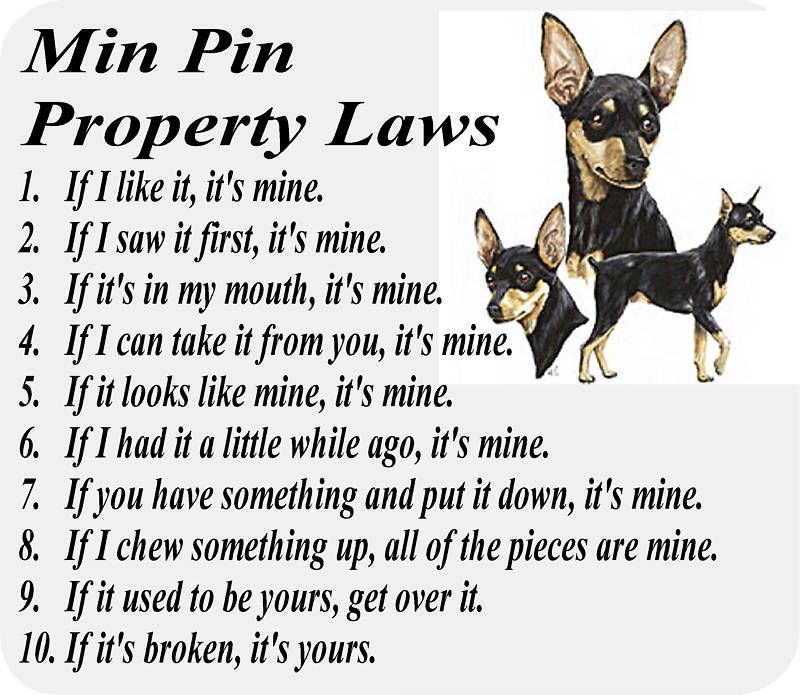 Miniature Pinscher Laws With Images Min Pin Dogs Miniature