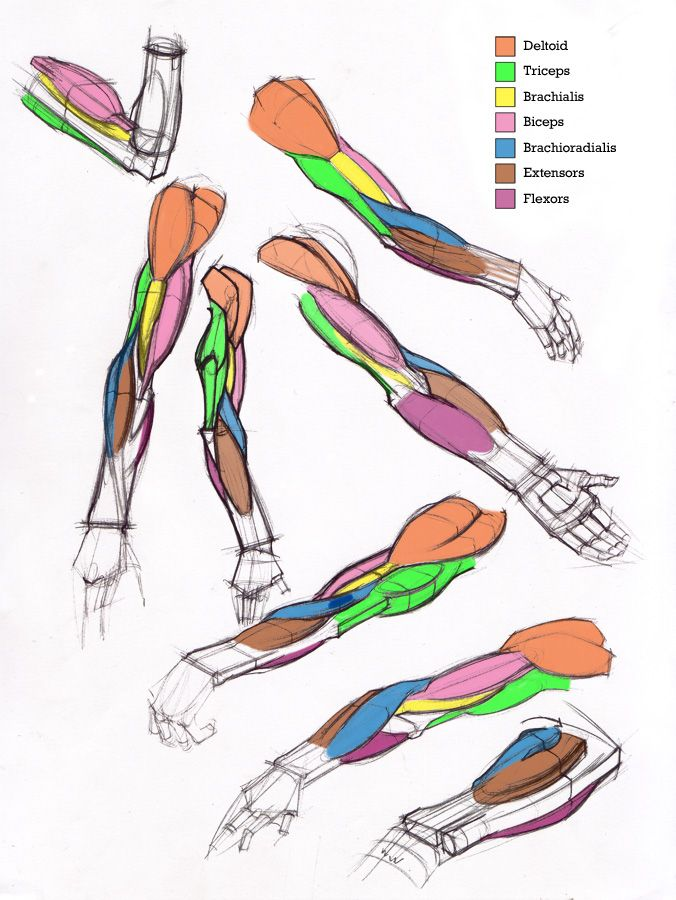 Additional Arm Diagrams by Michael Hampton. | Anatomy for Artists ...