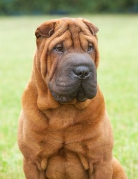 Dog Breed Guide Chinese Shar Pei