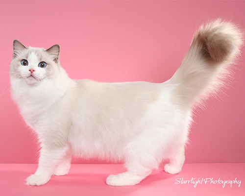 Blue point Bicolor Ragdoll cats for sale, Ragdoll kitten