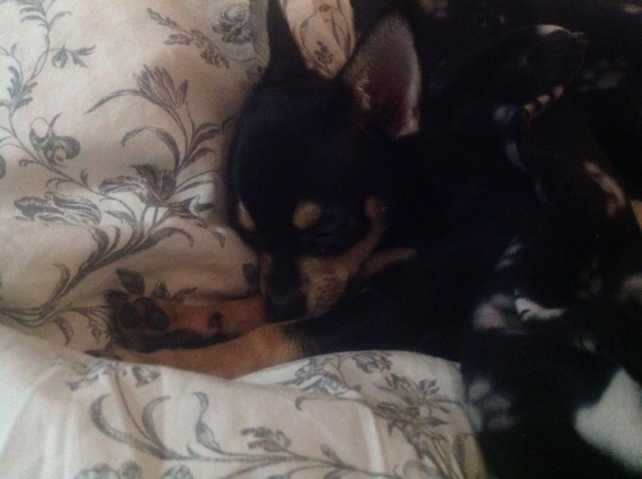 Baby Chihuahua X Baby Chihuahua Chihuahua Puppies Chihuahua