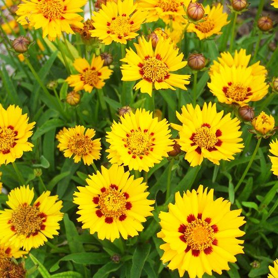 Vibrant perennial flowers that bloom all summer yellow flowers vibrant perennial flowers that bloom all summer mightylinksfo