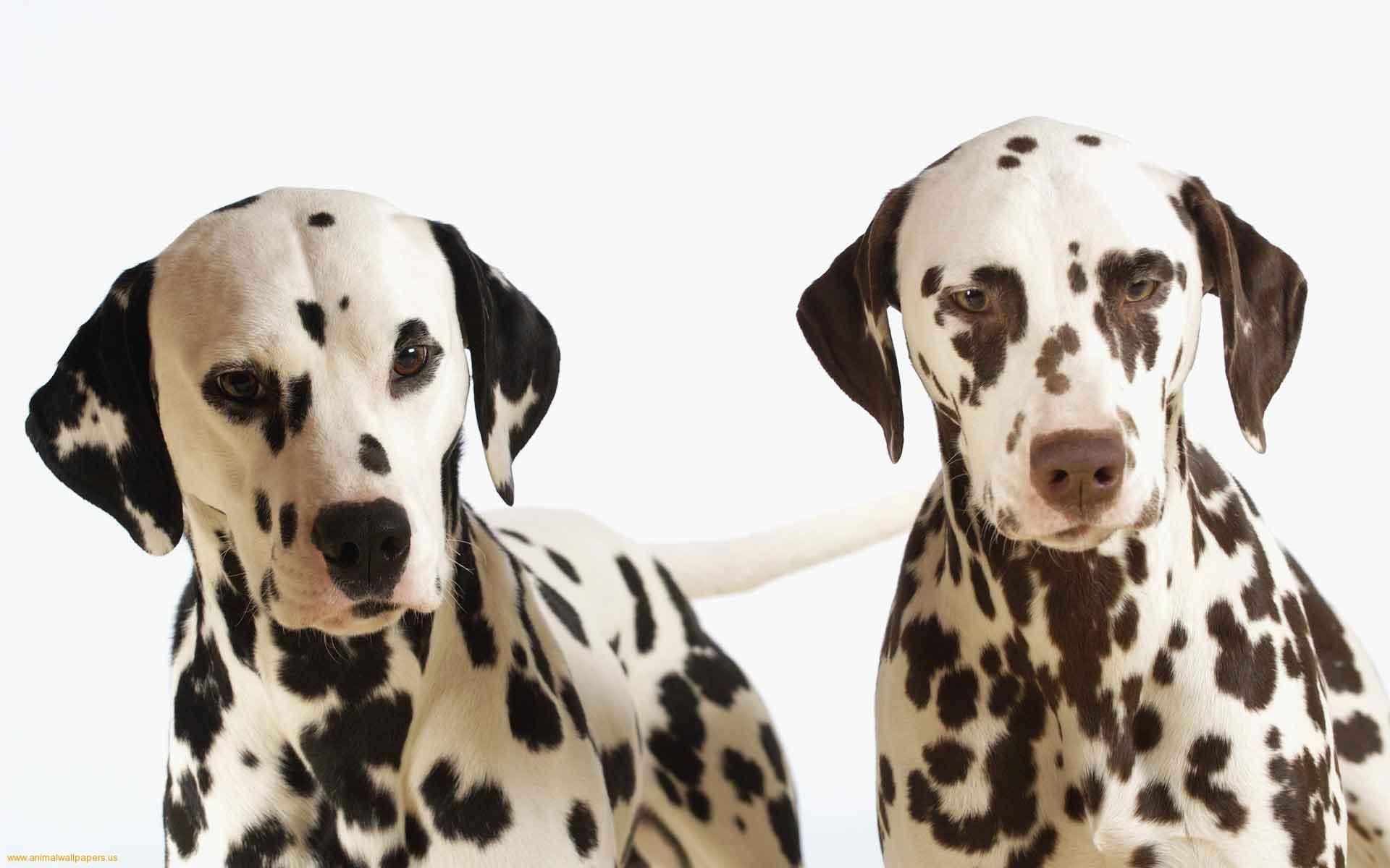 Proud Of Their Spots Dalmatian Dogs Dog Wallpaper Dog Breeds
