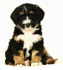 Mini Bernedoodle Puppies For Sale Bernedoodle Puppy