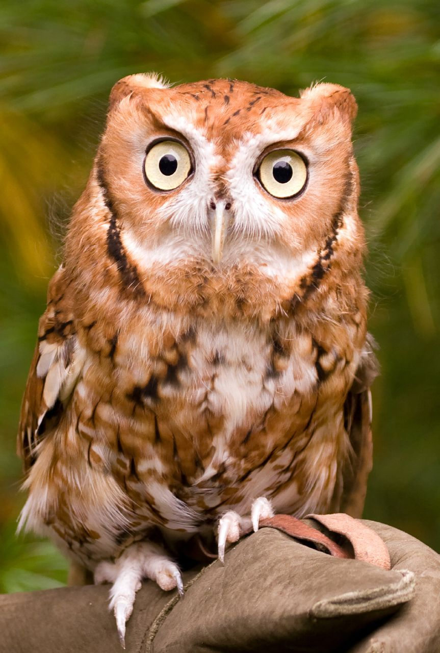 Eastern Screech Owl | Eastern screech owl, Beautiful owl ...