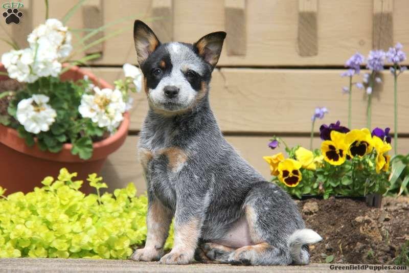 Australian Cattle Dog Blue Heeler Puppies For Sale In Pa Ideas