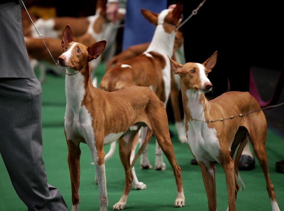 Raleigh, NC Westminster dog show, Dog