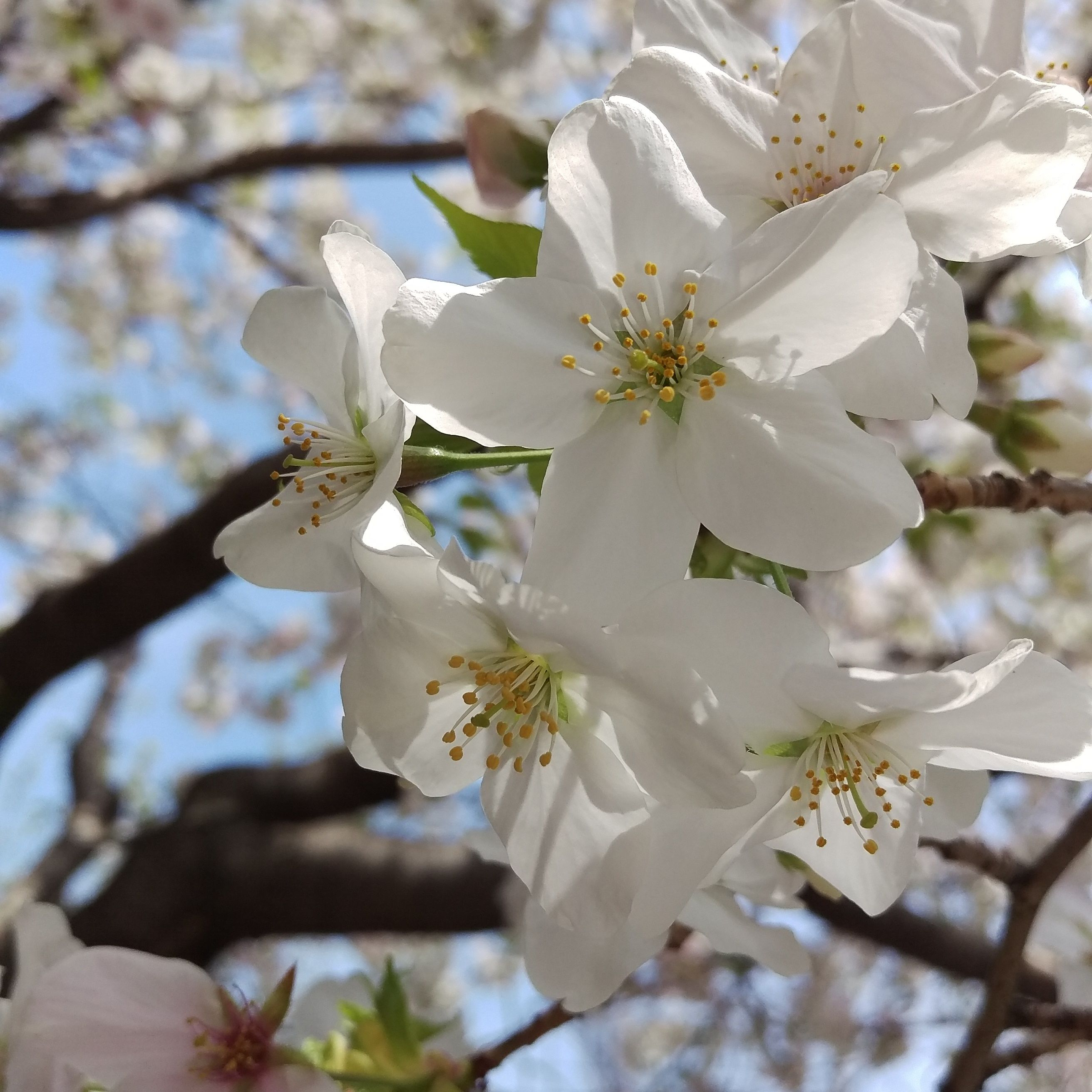 sunlight on petals on my daily life and tagged cherry blossom, flower, japan, matchaatnoon, nature, on my daily life, sakura, sunlight, tokyo, travel, tree, ueno