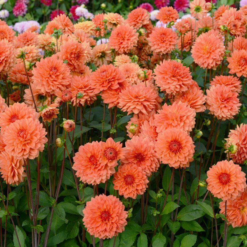 Pin On Dahlia Cut Flower Garden 2021
