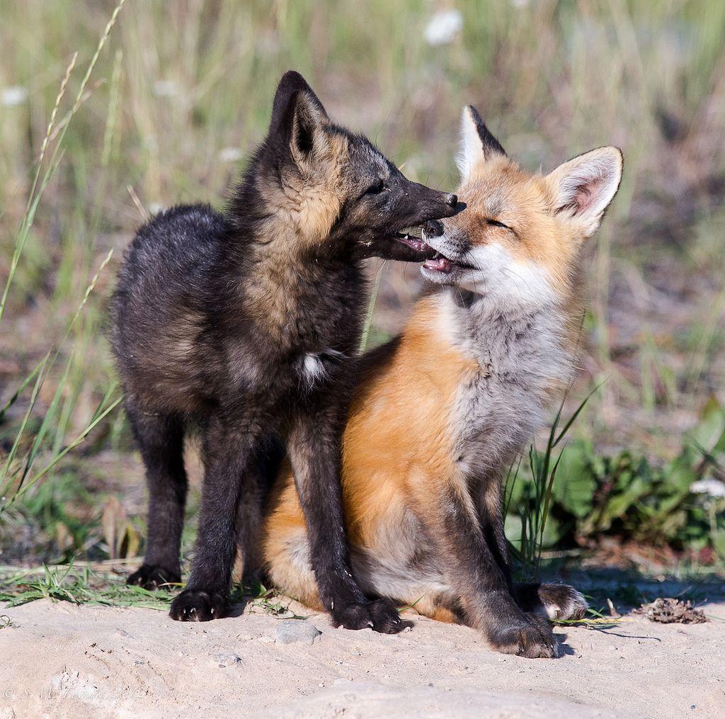 стройной картинки я люблю волка от лисы напольной керамики прочных