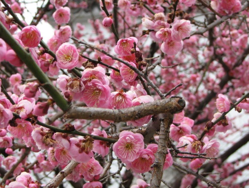 Cherry Blossom Fuchsia Flowers Sakura Cherry Blossom Chinese Garden