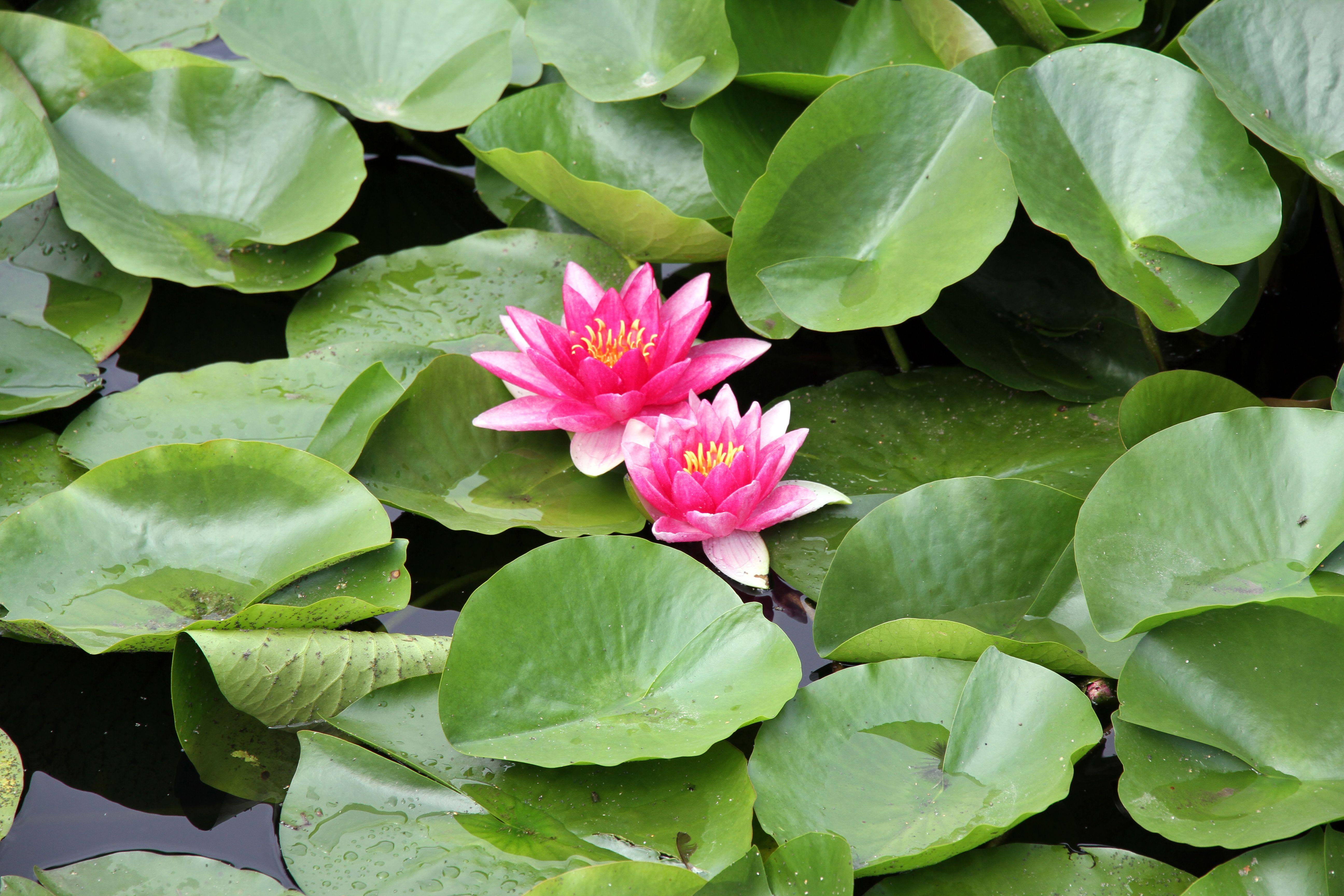 lotus pond Lotus Pond Lotus ponds Pinterest