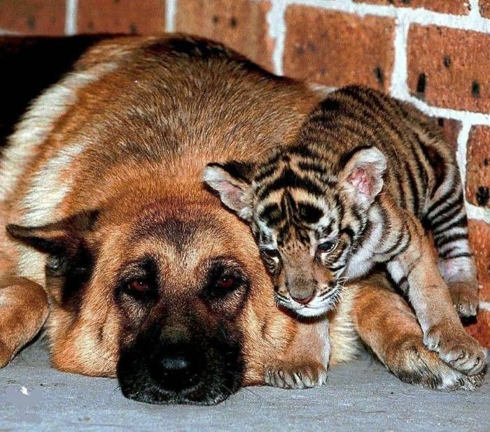 Пес и тигр картинки
