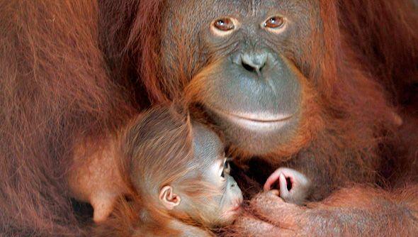 An 11-year-old orangutan holds her baby at Taman Safari in Pasuruan in Indonesia's East Java province.