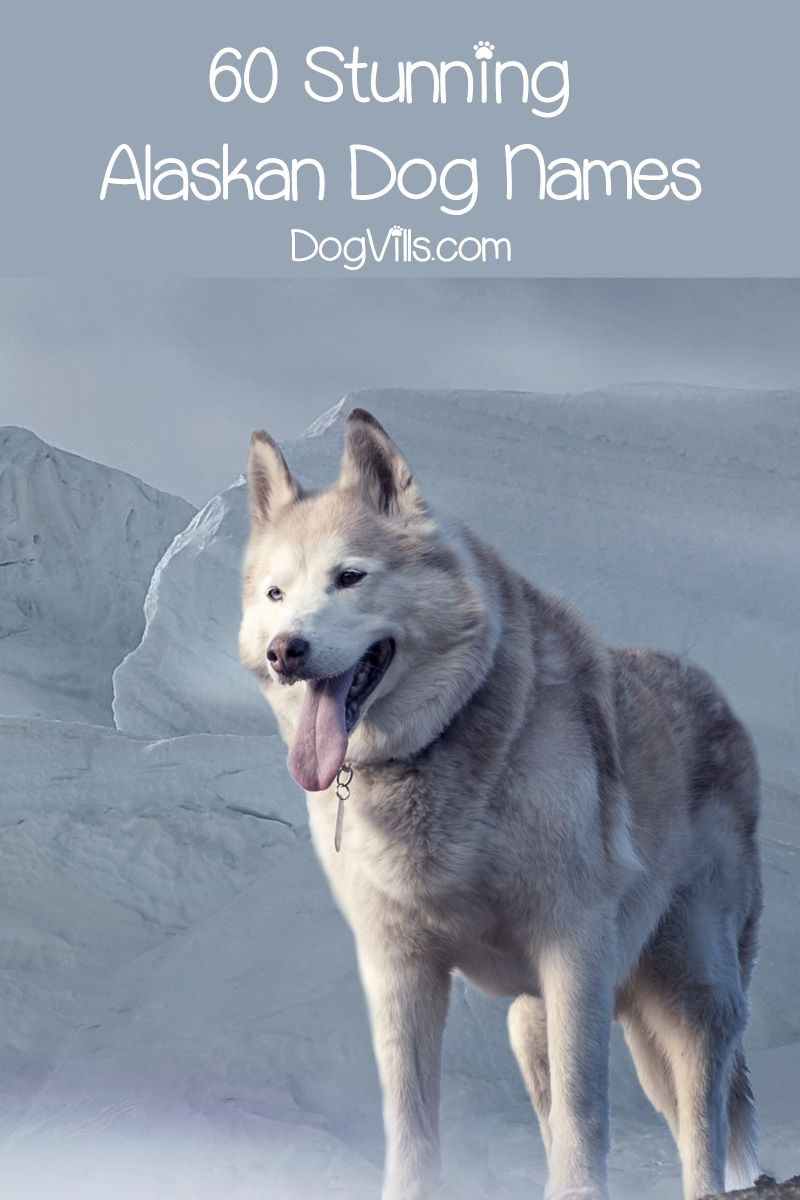 60 Stunning Alaskan Dog Names For Male Female Pups In 2020 Alaskan Dog Dog Names Dog Names Male