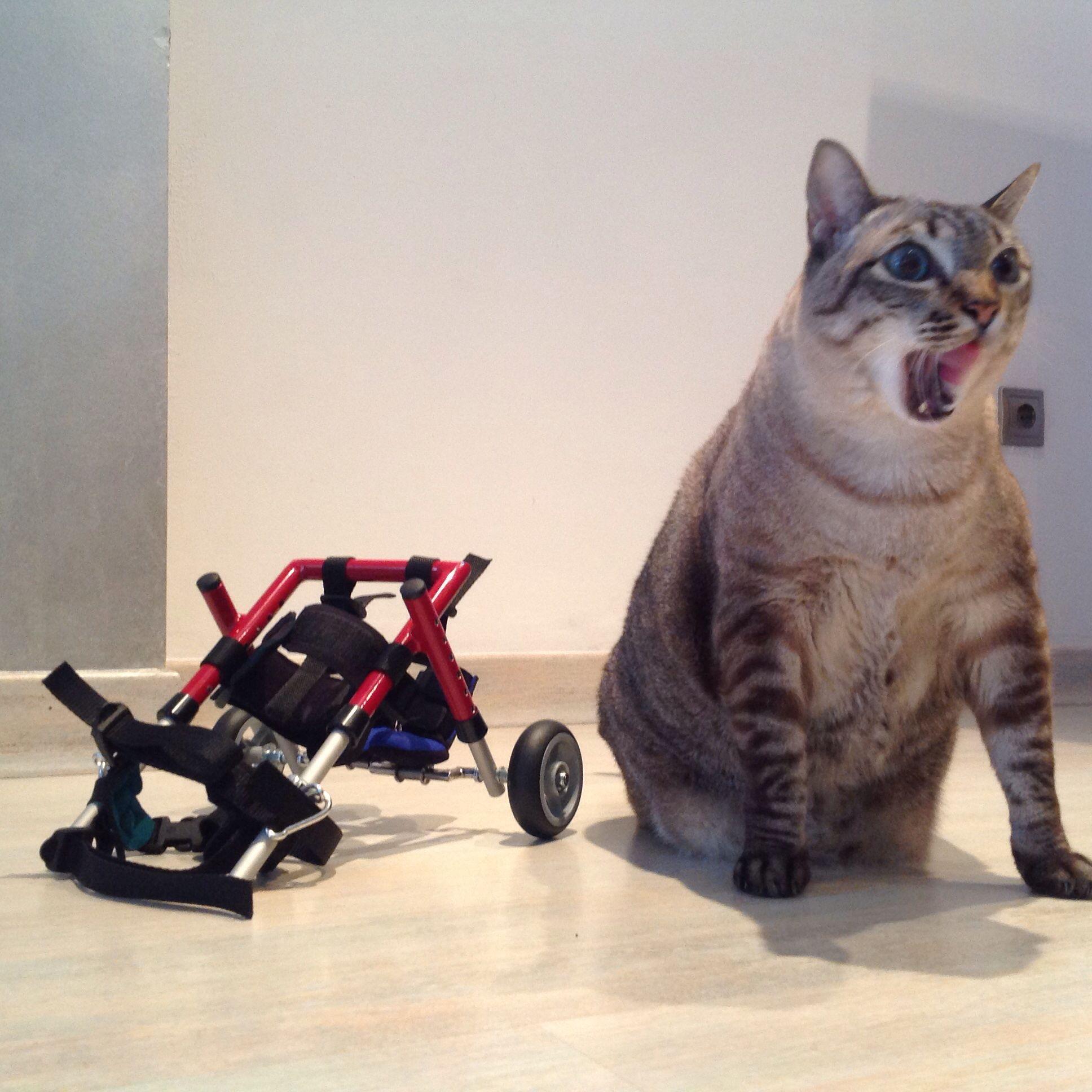 Silla De Ruedas Mini Gato Gigante Sillita De Ruedas Pequena Carro Para Perros Pequenos Ortope Silla De Ruedas Para Perro Perros Pequenos Perros