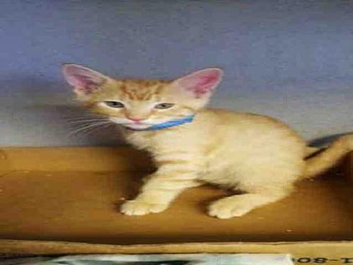Bakersfield Ca Domestic Mediumhair Meet Kirby A Cat For Adoption Cats In Need Of A Home Cats Pets Adoption
