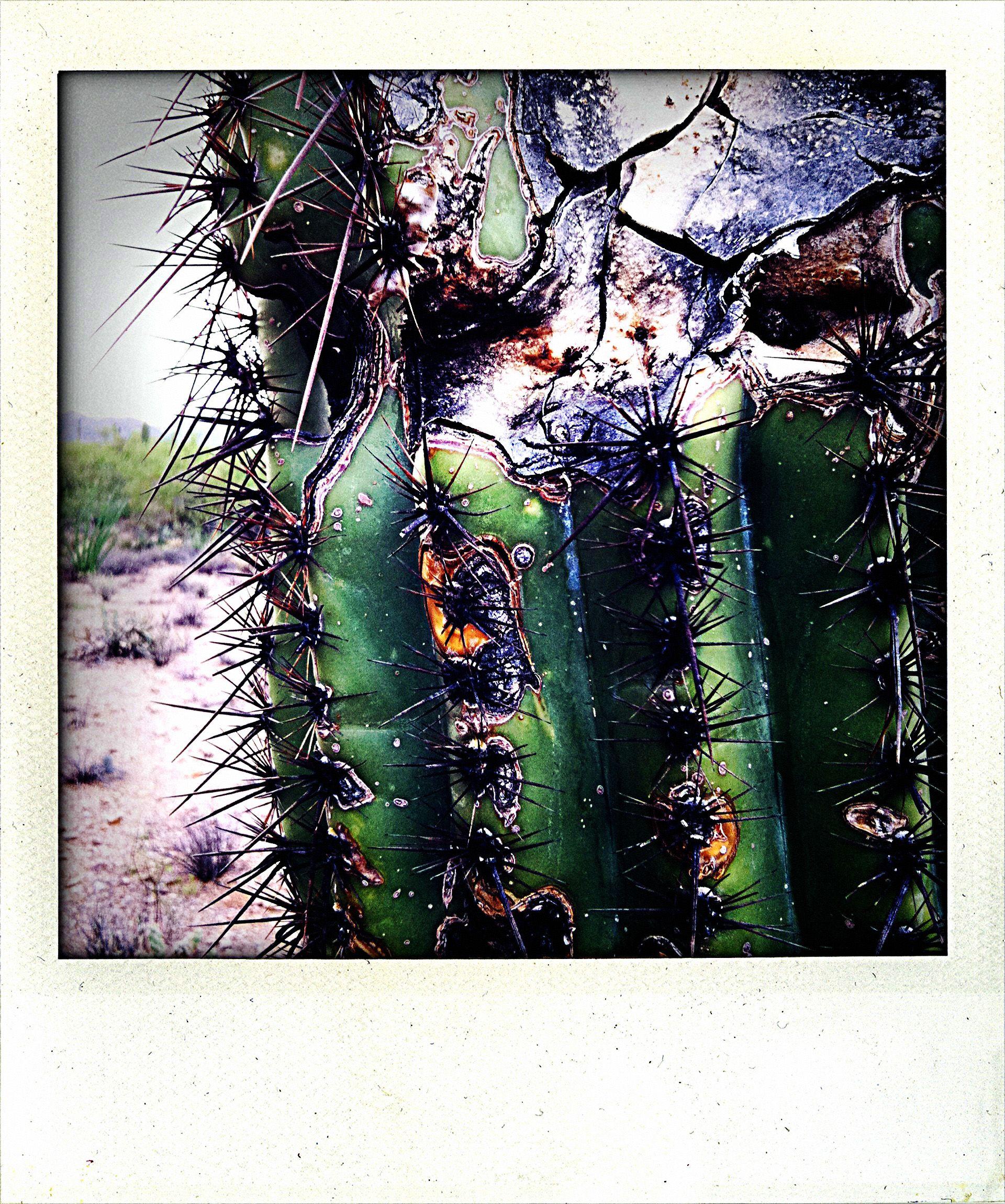 ...Saguaro cactus (Arizona).