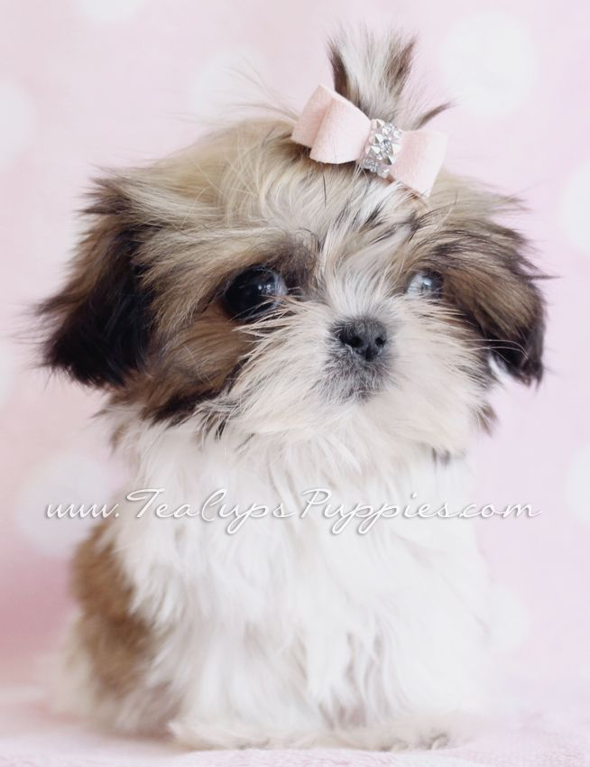 Pin By Kay Wigginton On Shih Tzu Puppies Really Cute Puppies Shih Tzu Puppy Shih Tzu