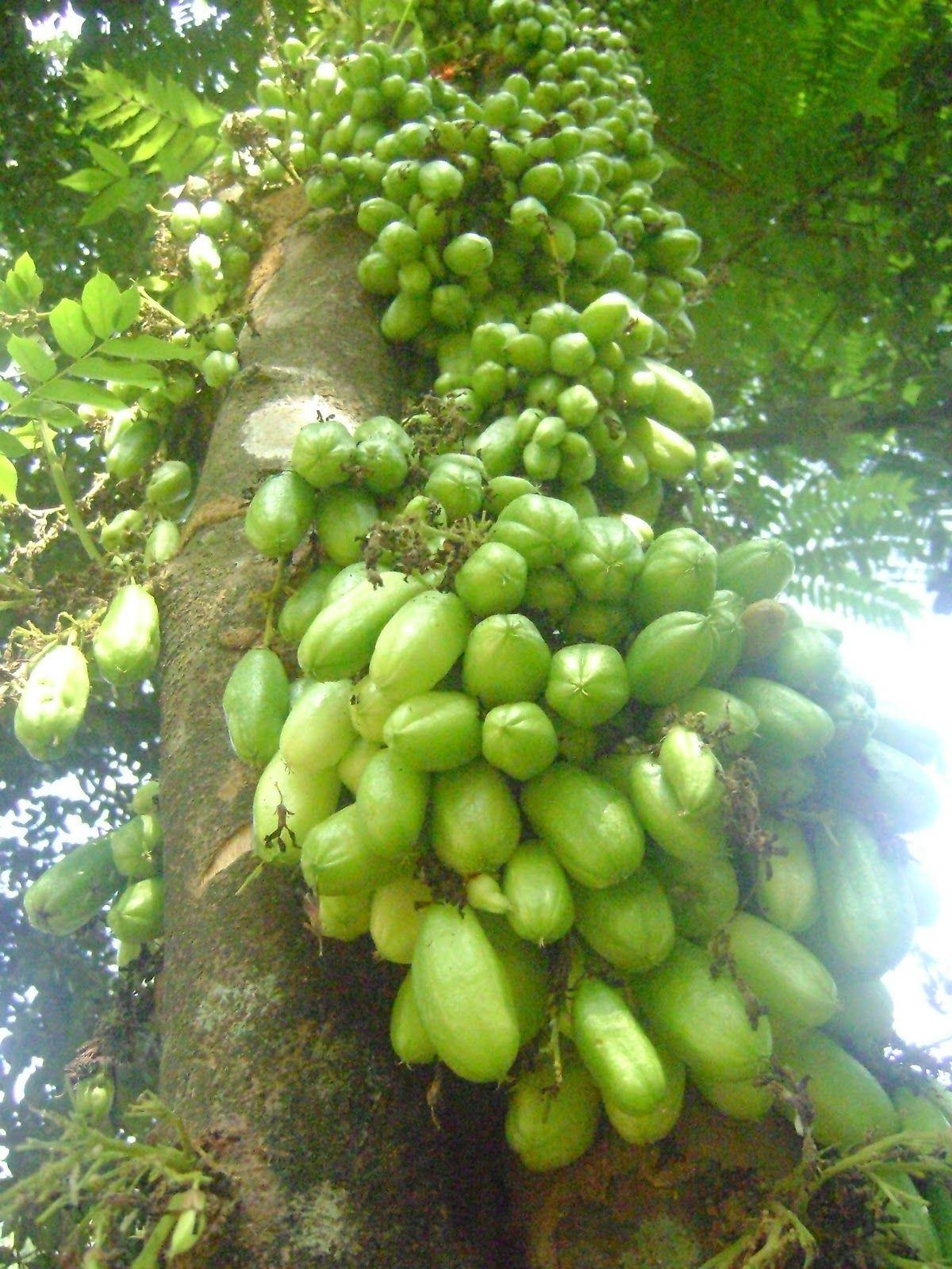 Bilimbi বলমব averrhoa bilimbi fruits of