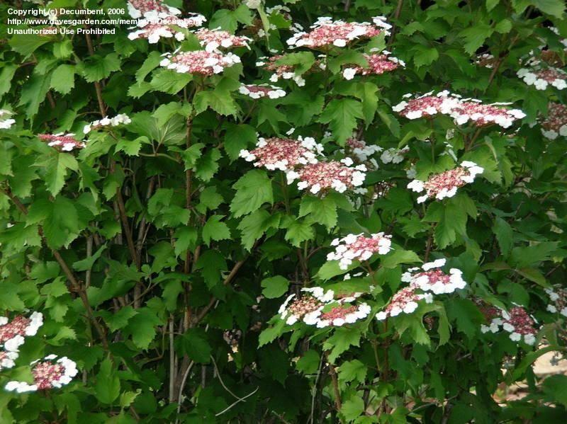 Sargent Viburnum 20 seeds Viburnum Sargentii