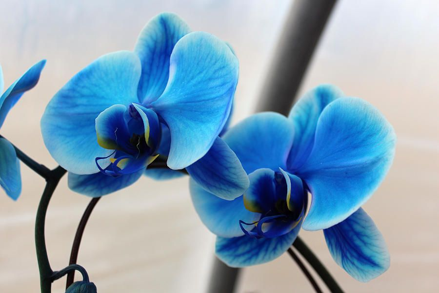 Pin By Susie Q Marketing On Here Comes The Bride Blue Orchids Orchids Flowers