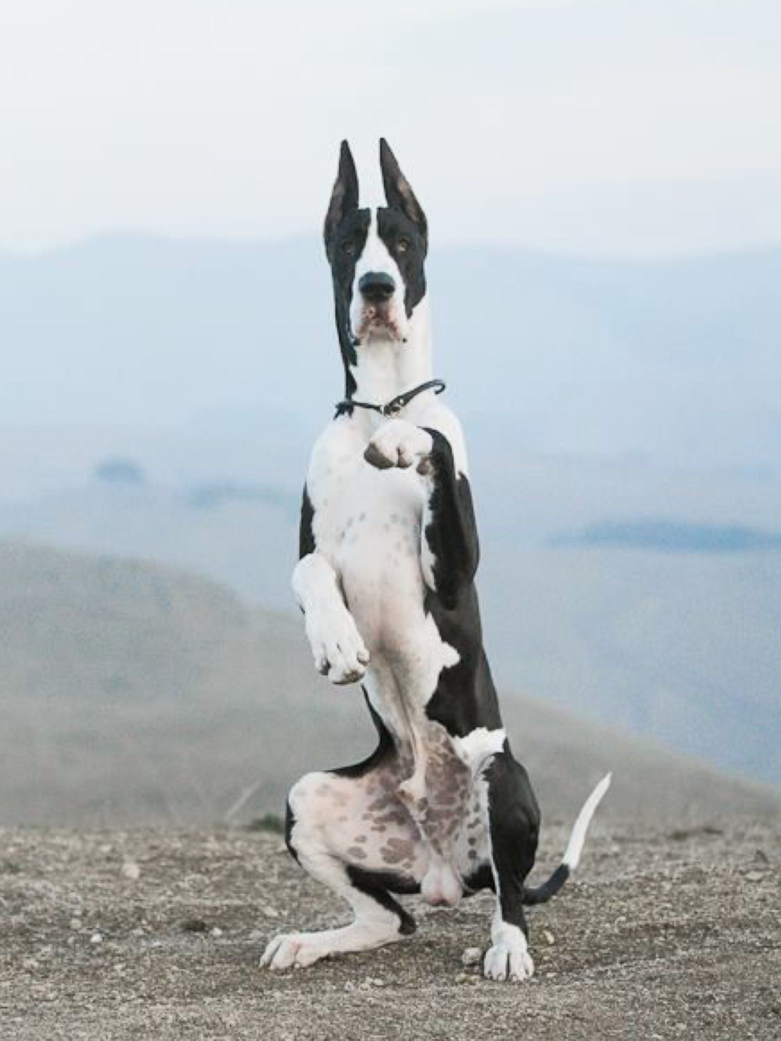 Yikes Didn T See You There Great Dane Dogs Great Dane