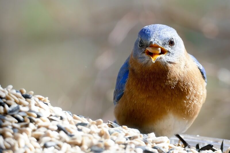 How to Attract Bluebirds: Satisfy These 4 Essential ...