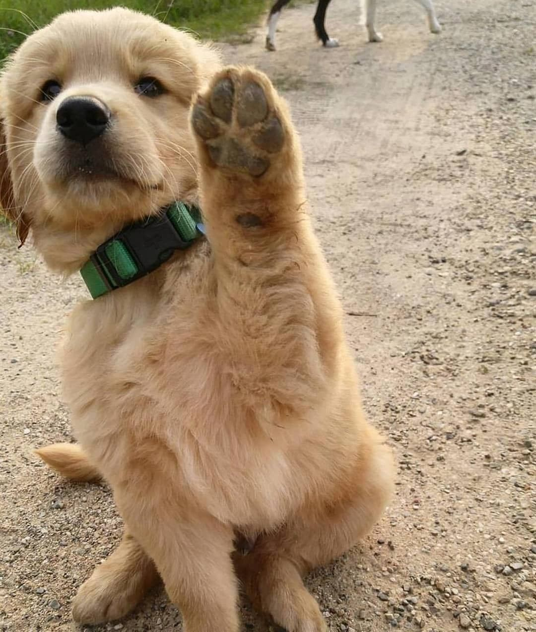Paws Up It S Monday Credi Golden Retriever Cute Dog Photos