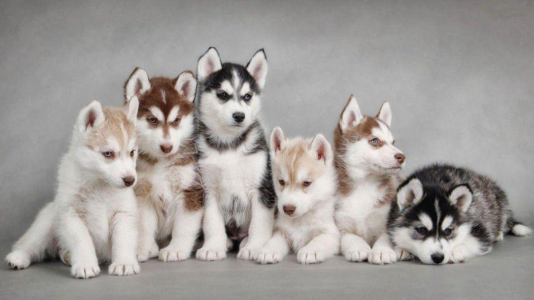 Family of husky cute husky puppies cute husky husky puppy