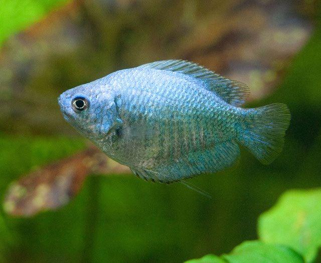 Powder Blue Gourami Aquariums Fish And Aquarium Fish