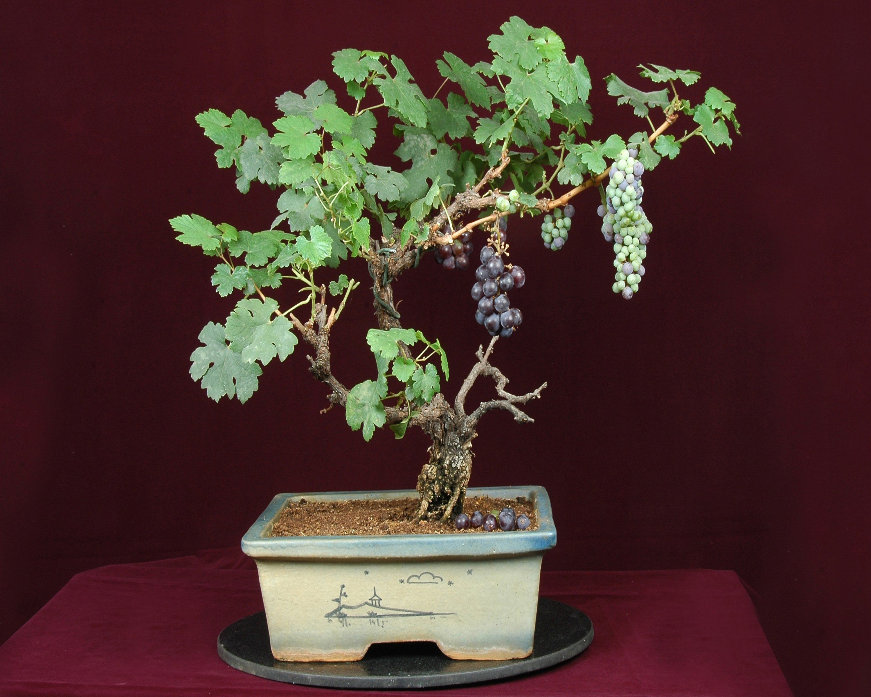 Grape Bonsai Tree Grapevine Bonsai Trees