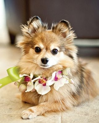 Dress a dog for a wedding with a flowers - be sure the dog can't eat them and be safe by using non-poisonous blooms