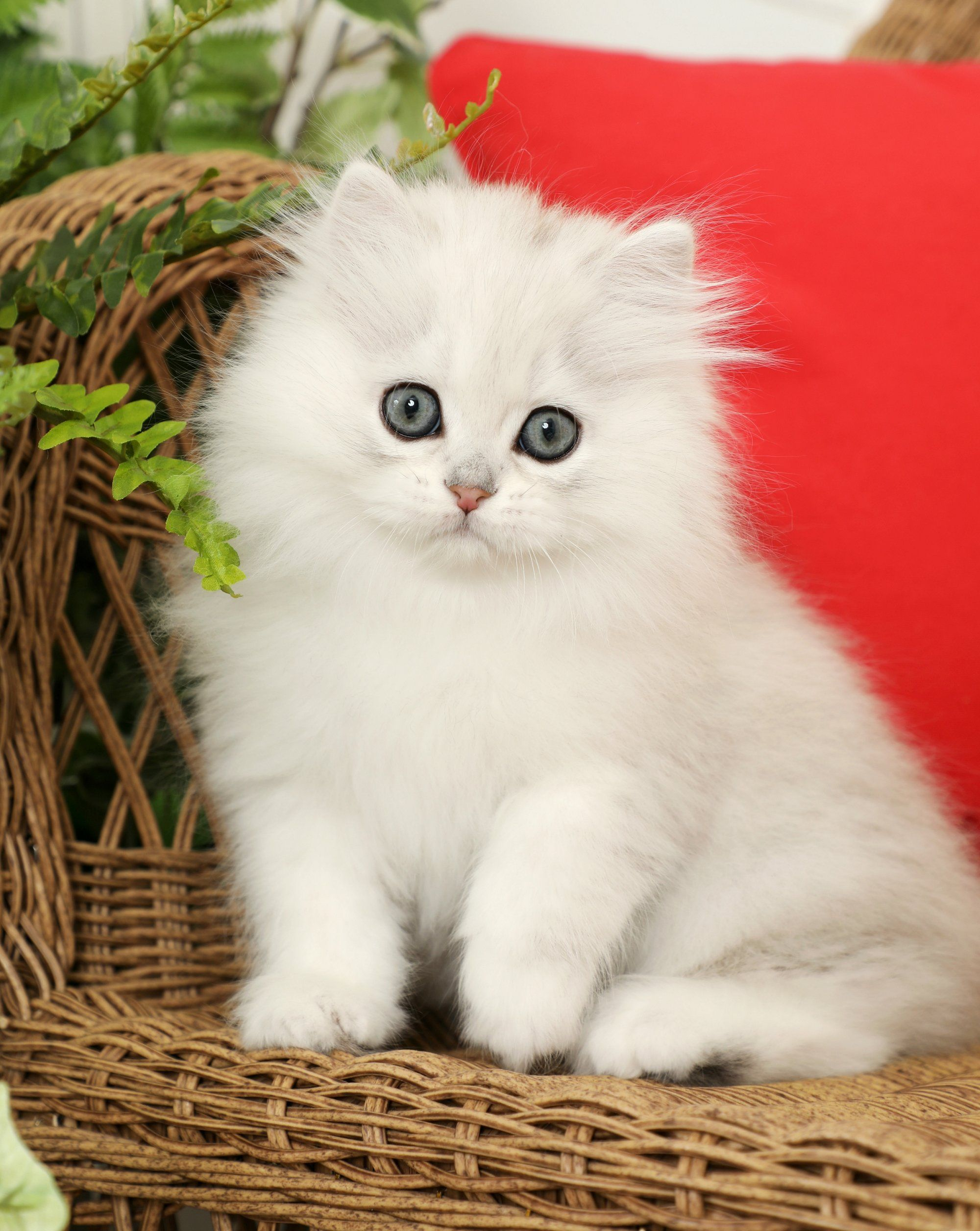 Muffin Chinchilla Silver Male Persian Currently Available Pretty Cats Cute Cats And Dogs Persian Kittens