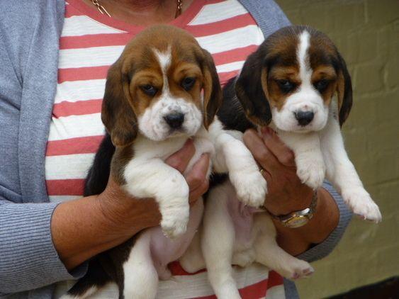 Beautifu Tricolourl Beagle Puppies For Sale In Lincolnshire East