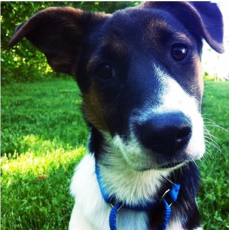 Adopt Tori *Here In NH* on Labrador retriever, Retriever mix