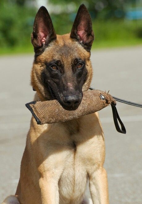 Mechelse Herder Belgian Malinois Belgian Malinois Dog Belgian Shepherd