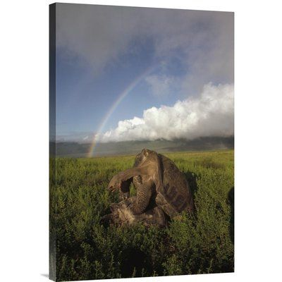 East Urban Home 'Galapagos Giant Tortoises Mating, Alcedo Volcano, Galapagos, Ecuador' Photographic Print Size:
