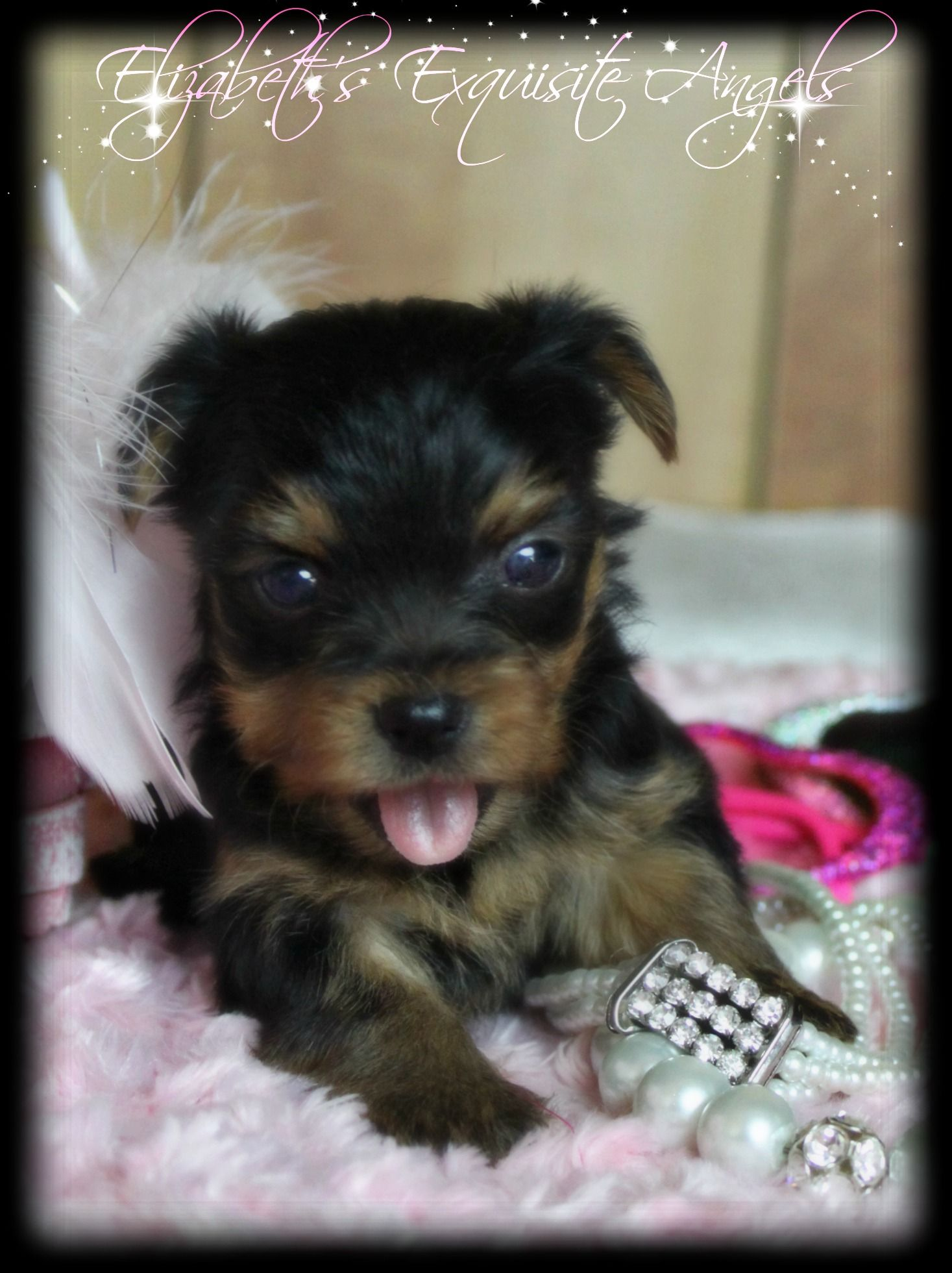 Tiniest Little Yorkie Baby See More Of Her Pictures On Our