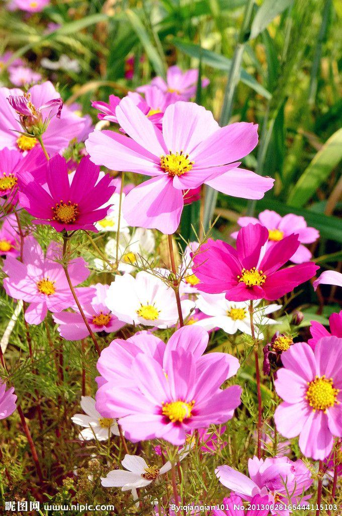 cosmos tienda de flores y la decoración del jardín colocados en