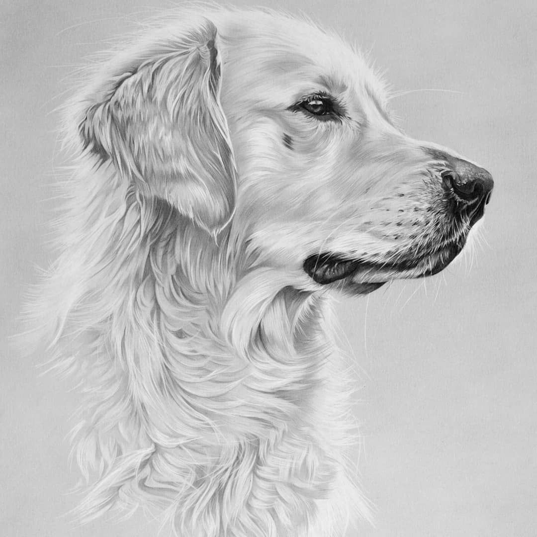 I Haven T Posted In A Long While So Time To Play Catch Up First Up Xanti The Golden Golden Retriever Drawing Golden Retriever Art Golden Retriever Sketch [ 1080 x 1080 Pixel ]